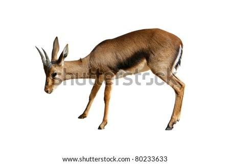 African gazelle isolated on white background - stock photo