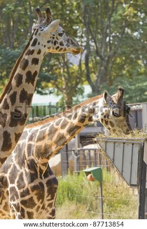 Zoo Barcelona giraffe zoo barcelona stock photo 87713854