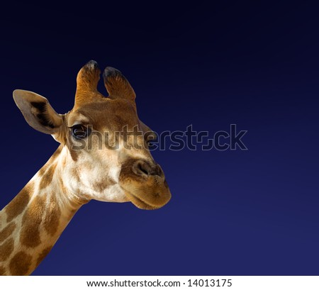 African giraffe face on blue sky background
