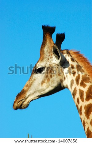 African giraffe head profile portrait in front of blue sky background - stock photo