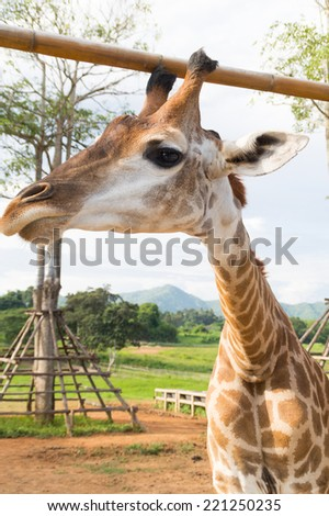african giraffe in zoo waiting for feed foods - stock photo