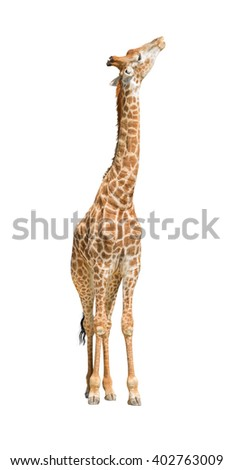 African giraffe raise head looking up isolated on white background - stock photo