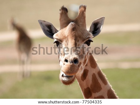 african giraffe up close - stock photo
