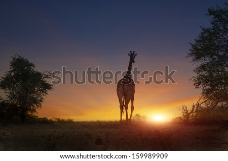 african giraffe walking in a safari sunset  - stock photo