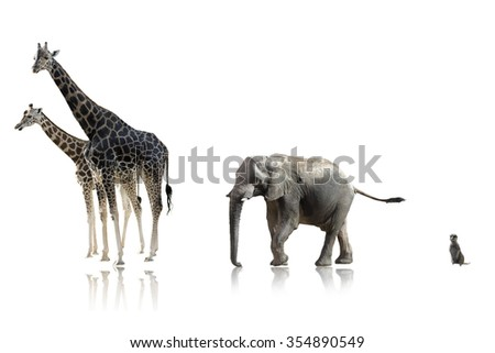 african giraffes elephant and suricata isolated on white background on a shinny surface
