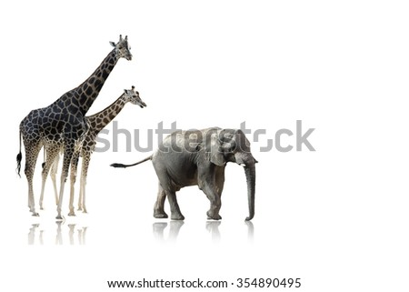 african giraffes elephant  isolated on white background on a shinny surface