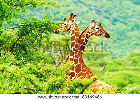 African giraffes family, two animals fighting with necks, beauty of wildlife, safari travel - stock photo