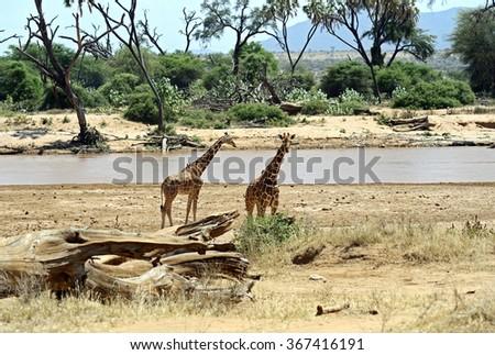 African Giraffes in Samburu National Park. Kenya, Africa. - stock photo
