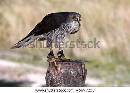 African Goshawk bird of prey standing on a tree stump - stock photo