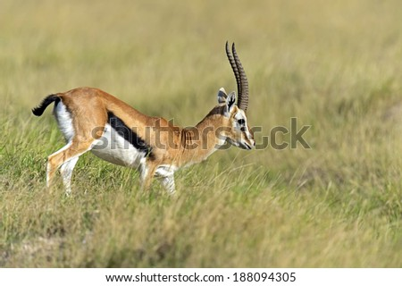 African Grant Gazelle in Amboseli National Park . Kenya