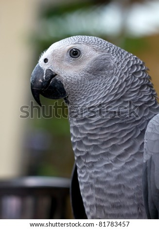 African gray parrot and white face - stock photo