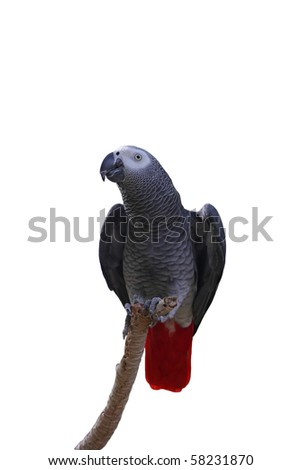 African gray parrot looking curious - stock photo
