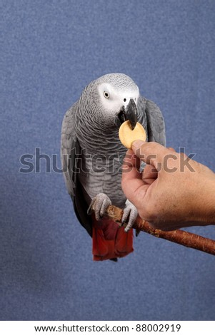 African Gray parrot tropical bird on a blue background - stock photo