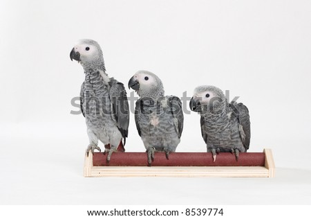 african grey babies sitting on a stick - stock photo