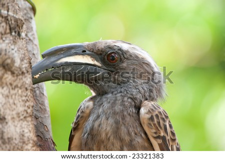 African grey hornbill adult male