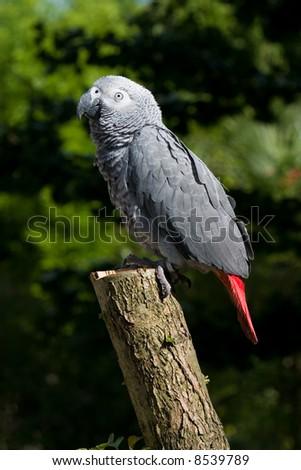 african grey on tree - stock photo