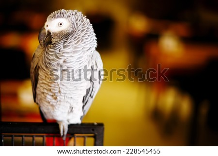 African grey parrot, grey parrot or Congo African grey parrot (Psittacus erithacus), also named jaco (jaquot) against red background - stock photo