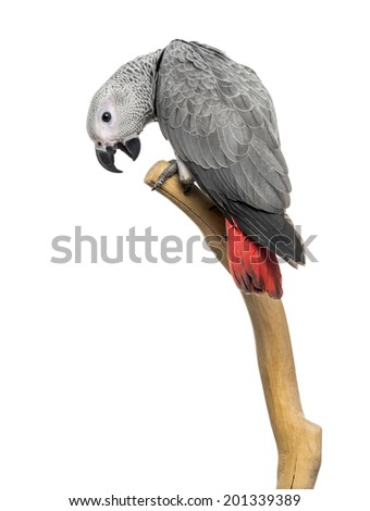 African Grey Parrot (3 months old) perched on a branch, isolated on white - stock photo