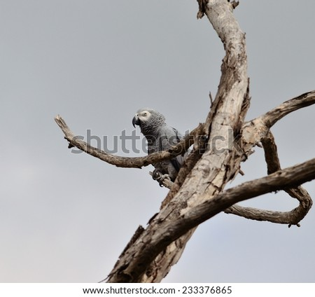 African grey parrot on dry tree - stock photo