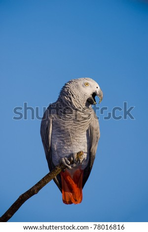 African Grey Parrot over blue sky - stock photo