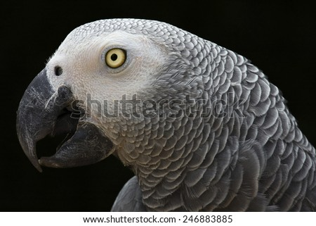African Grey Parrot portrait isolated on black  - Psittacus erithacus profile - stock photo