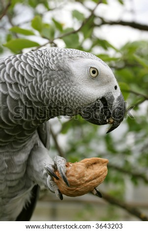African grey parrot(Psittacus erithacus) eating the nut. - stock photo