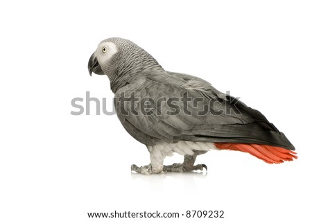 African Grey Parrot - Psittacus erithacus in front of a white background