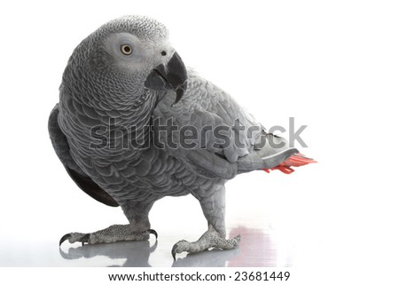 African Grey Parrot (Psittacus erithacus) isolated on white background. - stock photo