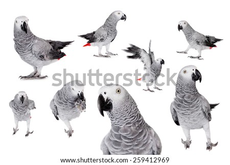 African Grey Parrot, Psittacus erithacus, isolated on white background - stock photo