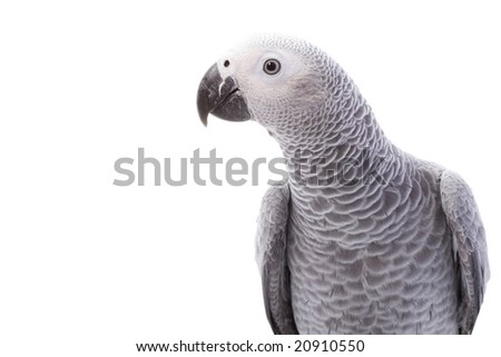 African Grey Parrot (Psittacus erithacus) on white background. - stock photo