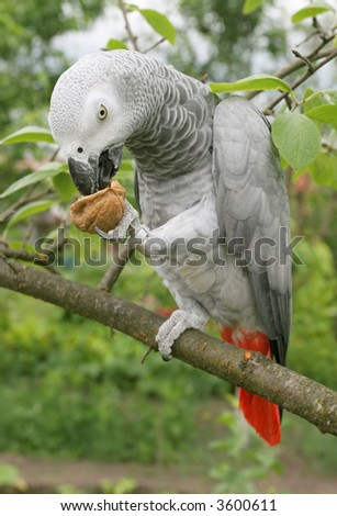 African grey parrot(Psittacus erithacus) sitting on a tree. - stock photo