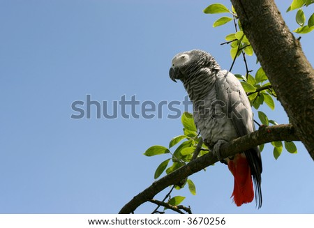 African grey parrot(Psittacus erithacus) sitting on a tree - stock photo