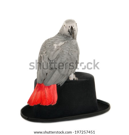 African grey parrot sitting on a gentleman's hat and looking into camera. Isolated on white. - stock photo