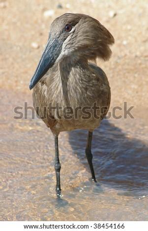 "African Hammerkop (""Hammer head"") bird - stock photo"