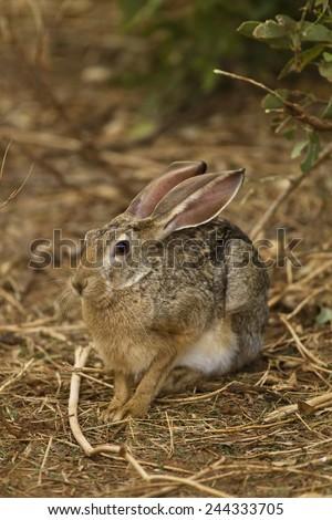 African hare, Lepus microtis, Samburu Game Reserve, Kenya, East Africa - stock photo