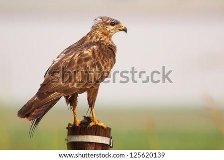 African harrier hawk - stock photo