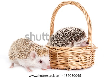 African hedgehog in the basket on white background - stock photo