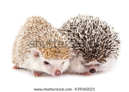African hedgehogs on white background - stock photo