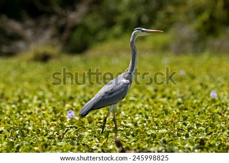 African Heron on Lake Naivasha in search of prey  - stock photo