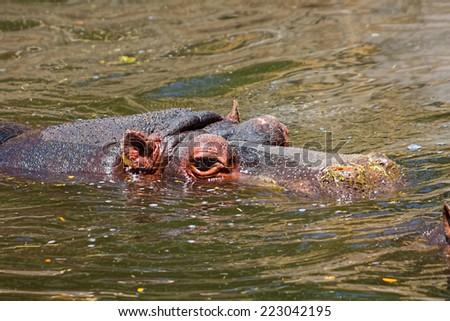 African hippo resting in the water