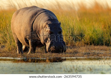 African Hippopotamus, Hippopotamus amphibius capensis, with evening sun, Chobe River, Botswana  - stock photo