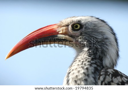 African hornbill bird with large curved beak