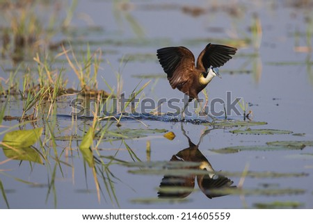 African Jacana (Actophilornis africanus) balancing on lily leaves with wings spread - stock photo