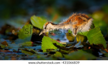 African jacana chick walking on lily pads, South Africa