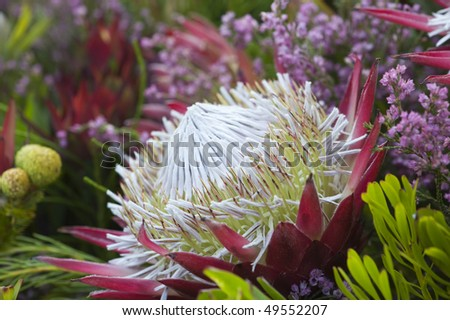 African King protea flower - closeup - stock photo