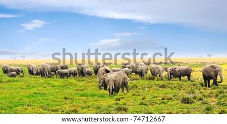 African landscape. Herd of african elephants in the swamp, Amboseli, Kenya - stock photo