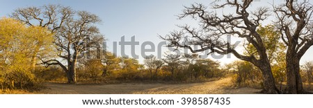 African landscape panorama at sunrise with Baobab and Manketti trees in Botswana, Africa - stock photo
