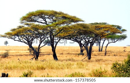african landscape with a acacia trees  - stock photo