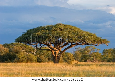 African landscape with a beautiful Acacia tree (Acacia erioloba), Hwange National Park, Zimbabwe, southern Africa	 - stock photo