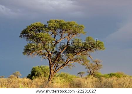African landscape with a beautiful Acacia tree (Acacia erioloba), Kalahari, South Africa - stock photo